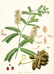 Aus Köhlers Arzneipflanzen 1882