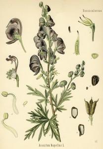 Abbildung aus Köhler´s Medizinalpflanzen 1882
