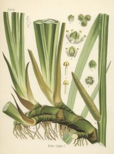 Aus Köhleré Arzneipflanzen 1882