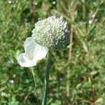 Allium-cepa2