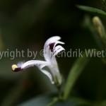 Andrographis paniculata1web-2