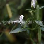 Andrographis paniculataweb-3