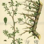 Balsamodendron-myrrhaweb-2