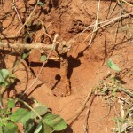 Boerhaavia diffusaweb2