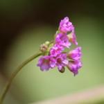 Boerhaavia diffusaweb5