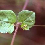 Boerhaavia diffusaweb9