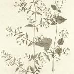 Boerrhavia diffusa-web
