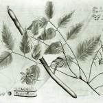 Aus dem Hortus Malabaricus  van Rheede
