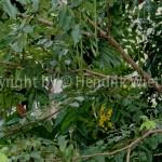 Cassia fistula1-3