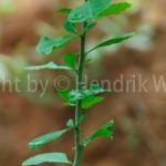 Commiphora-mukul-1web-6