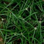 Cyperus rotundus-1