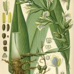 """Aus Köhler´s """"Medizinalpflanzen"""" 1882"""