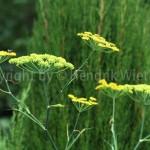 Foeniculum-vulgareweb3-5