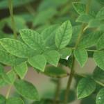 Glycyrhizaweb1