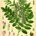 Aus Köhler´s Arzneipflanzen 1882