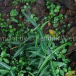 Hemidesmus indicus-1