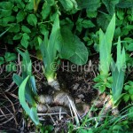 Iris germanica Linn.4-2