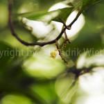 Miristica-fragrans-weiblichweb-2