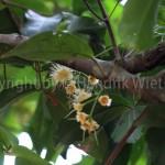 Myrisitica-fragrans-männlichweb-1