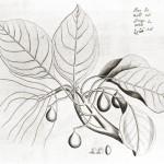 Terminalia-belliricaweb