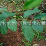 Terminalia-chebulaweb-2-5