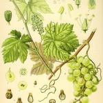 Vitis vinifera altweb