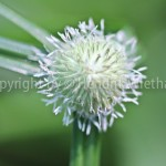 Zyperus rotundus-web