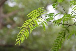 Acacia katechu