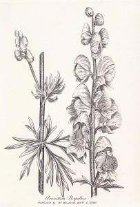 aconitum-napellusweb