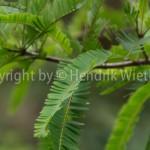 Amblabaum, Amblabeeren, Indische Stachelbeere, Myrobalanenbaum,