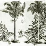 Aus Hortus Malabaricus  1678–1703