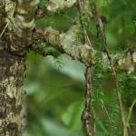 asperagus racemosus-web