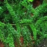 asperagus racemosus1