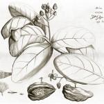 Aus dem Hortus Malabaricus