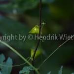 cardiospermum halicacabum-2