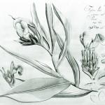 costus speziosusweb