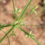 cyperus-rotundus2web-1