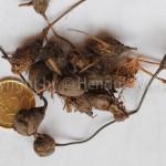 cyperusrotundus22web-1
