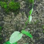 gymnema1web-1