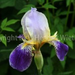 iris germanica112-5