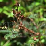 mimosa-pudica1-1