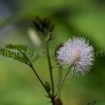 mimosa-pudica2-2