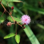 mimosa-pudica3-3
