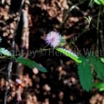 mimosa-pudica4-4