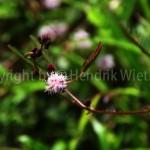 mimosa-pudica5-5