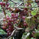 vitis vinifera web-1
