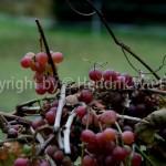vitis vinifera web1-2