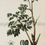 Angelica arachangelica-3