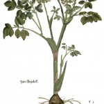 Angelica arachangelica KB