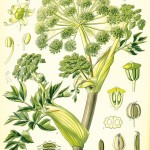 Angelica arachangelica officinalis